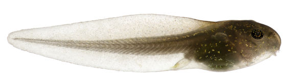 Rana común, tadpole del temporaria del Rana Imagenes de archivo
