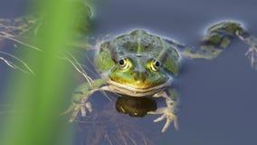 Rana comestible/rana común del agua que mira en la cámara - vista delantera 4k del primer metrajes