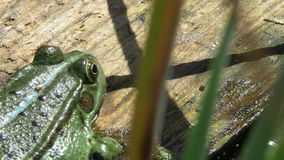 Rana comestible/rana común del agua que se sienta en el pedazo de madera - primer macro almacen de metraje de vídeo