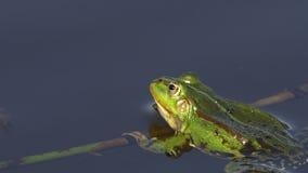 Rana comestible/rana común del agua - vista lateral 4k del primer almacen de metraje de vídeo