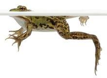 Rana comestible, Rana esculenta, en agua Foto de archivo libre de regalías