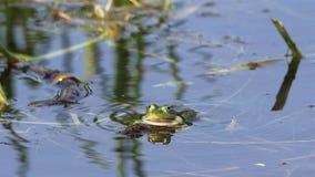Rana commestibile/rana comune dell'acqua - movimento lento di salto dei sacchetti di guancia stock footage
