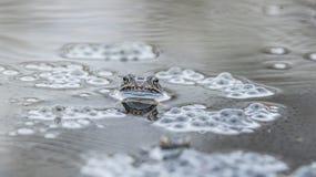 Rana comune in acqua Fotografia Stock Libera da Diritti