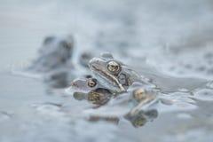 Rana comune in acqua Immagini Stock Libere da Diritti