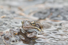 Rana comune in acqua Immagine Stock