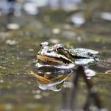 Rana comune che guarda dall'acqua Fotografia Stock