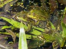 Rana comune dell'acqua - Pelophylax esculentus Immagine Stock Libera da Diritti