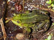 Rana comune dell'acqua - Pelophylax esculentus Fotografia Stock