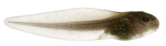 Rana comune, tadpole di temporaria del Rana Immagini Stock