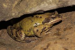 Rana comune - temporaria del Rana Immagini Stock Libere da Diritti