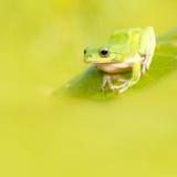 Rana con fondo verde piacevole Fotografia Stock