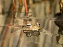 rana con la riflessione in un'acqua, rane selvagge immagine stock