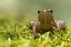 Rana con le gambe lunghe della rana di iberica iberico del Rana fotografie stock