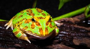 Rana cornuta del Surinam Fotografia Stock
