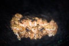 Rana cornuta dell'Argentina o rana dell'Pac-uomo nella terra Rana dai pascoli dell'Argentina, dell'Uruguay e del Brasile fotografia stock