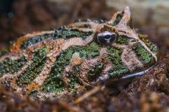 Rana cornuta sudamericana - cranwelli di Ceratophrys fotografia stock
