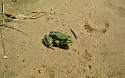 Rana d'acqua dolce che si siede sulla sabbia di estate vicino al bacino idrico immagini stock libere da diritti