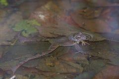 Rana dalmatina Fotografia Stock