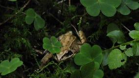 Rana dalmatina agile della rana stock footage