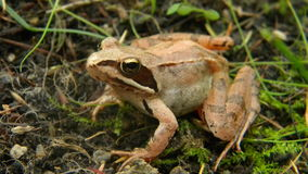 Rana dalmatina - Agile frog. Agile frog (Rana dalmatina) in the forest stock photo
