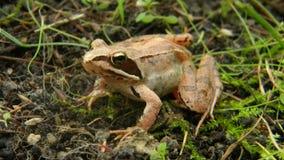 Rana dalmatina - Agile frog Stock Photography
