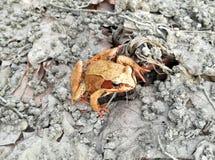 Rana Dalmatina Frog Royalty Free Stock Photo