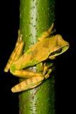 Rana de árbol Imagenes de archivo