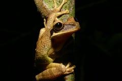 Rana de árbol Imagen de archivo libre de regalías
