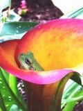 Rana de árbol Foto de archivo