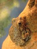 Rana de árbol de la barranca Imagenes de archivo