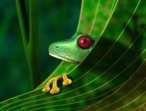 Rana de árbol en peligro de la selva tropical Fotografía de archivo