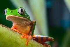 Rana de árbol en selva tropical tropical del Brasil el Amazonas
