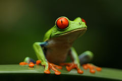 Rana de árbol Eyed roja Imagen de archivo