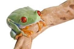 Rana de árbol eyed roja imágenes de archivo libres de regalías