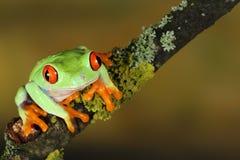 Rana de árbol eyed roja fotografía de archivo libre de regalías