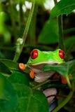Rana de árbol Eyed roja en hojas imagen de archivo libre de regalías