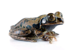 rana de árbol Grande-eyed foto de archivo libre de regalías