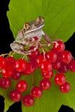 rana de árbol Grande-eyed en bayas foto de archivo libre de regalías