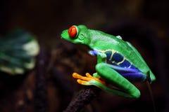 Rana de árbol Red-eyed fotografía de archivo libre de regalías