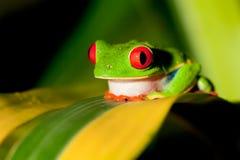 Rana de árbol Red-eyed imagen de archivo