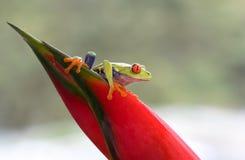 Rana de árbol Red-eyed foto de archivo libre de regalías