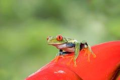 Rana de árbol Red-eyed imagen de archivo libre de regalías