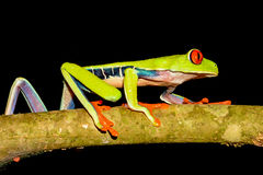 Rana de árbol Red-eyed imagenes de archivo