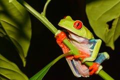 Rana de árbol Red-eyed foto de archivo