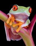 Rana de árbol red-eyed del bebé imágenes de archivo libres de regalías