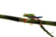 Rana de árbol Red-Eyed que recorre en bambú fotografía de archivo