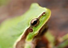 Rana de árbol verde Imagen de archivo libre de regalías