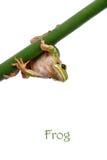 Rana de árbol verde Fotos de archivo