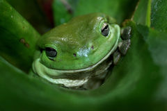 Rana de árbol verde Imágenes de archivo libres de regalías