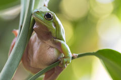 Rana de árbol verde australiana Imagen de archivo